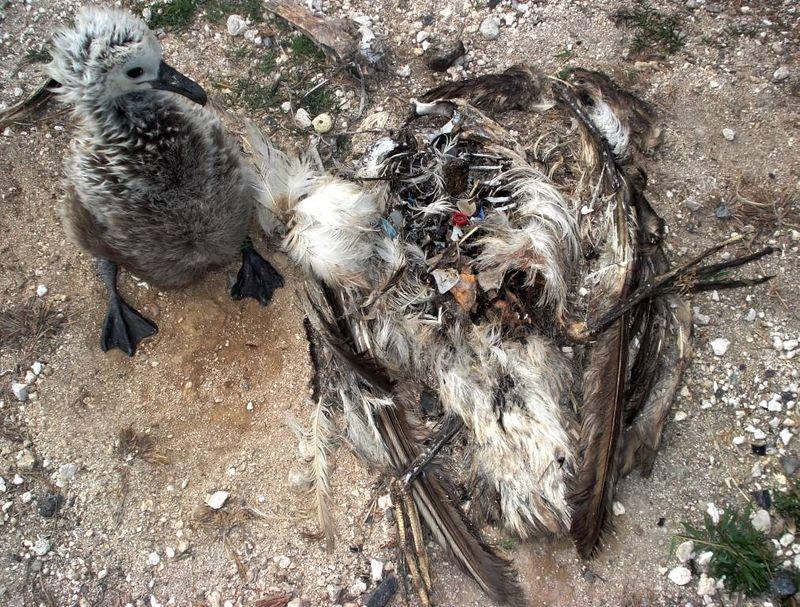 Chickadult_plastic