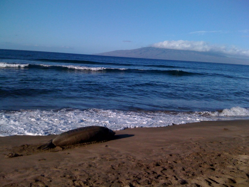 Maui Surf Lessons | sleeping monk seal